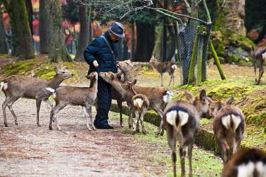 HMS0366904 Japan, Honshu Island, Kinki Region, city of Nara, nara Park, deers designated as National Tresure