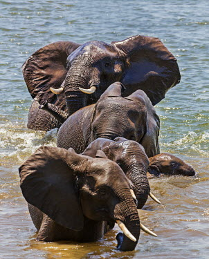 ZAM7984 Zambia, Southeastern Zambia, Lower Zambezi National Park.  Elephants bathe in the Zambezi River.
