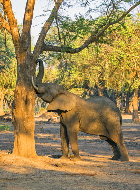 ZAM7999 Zambia, Southeastern Zambia, Lower Zambezi National Park.  A bull elephant shakes a tree to dislodge seed pods which are a favourite food in the dry season.
