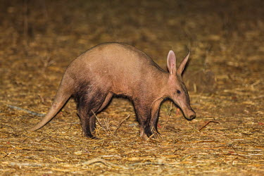 ZAM8016 Zambia, Southeastern Zambia, Lower Zambezi National Park.  An Aardvark. This nocturnal pig-like animal subsists on ants and termites.