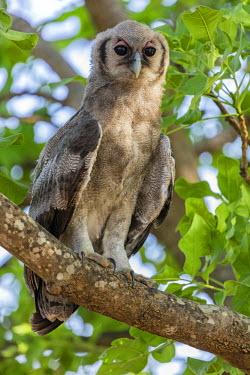ZAM8021 Zambia, Eastern Zambia, South Luangwa.  A Verreaux�s Eagle-Owl.