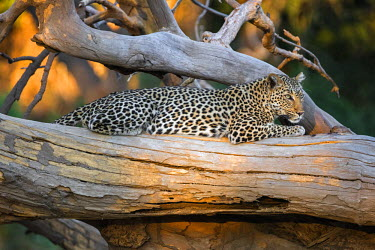 ZAM8034 Zambia, Southeastern Zambia, Lower Zambezi National Park.  A leopard basking in late afternoon sunlight.