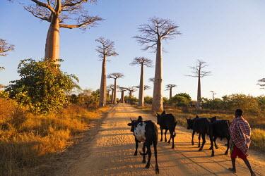 MAD0708 Africa, Western Madagascar, Allee de Baobab (Adansonia)