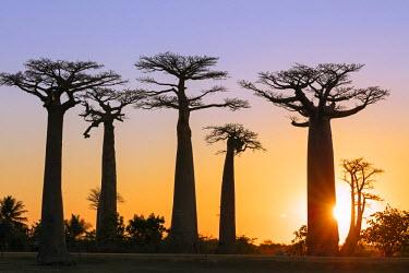 MAD0715 Africa, Western Madagascar, Allee de Baobab (Adansonia), sunset