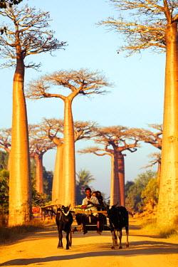 MAD0728 Africa, Western Madagascar, Allee de Baobab (Adansonia)