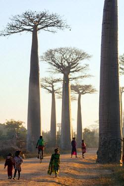 MAD0732 Africa, Western Madagascar, Allee de Baobab (Adansonia)