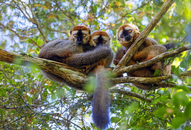 MAD0778 Africa, southern Madagascar, Zombitse-Vohibasia National Park, Red-fronted brown lemur (Eulemur rufifrons)