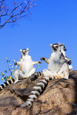 MAD0805 Africa, central Madagascar, Ambalavao, Anja Reserve, Ring tailed lemurs (Lemur catta) warming up in the sun