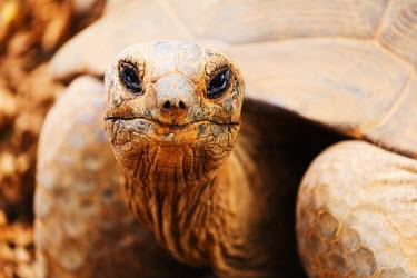 MAD1061 Madagascar, Antananarivo, Crocodile Farm, Madagascar Plowshare tortoise (Geochelone yniphora)