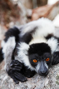 MAD1068 Africa, (easthern) Madagascar, Tamatave, Pangalanes Lakes, Lake Ampitabe, Black-and-white ruffed lemur (Varecia variegata)