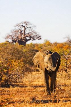 SAF6543 South Africa, Limpopo, Mapungubwe National Park, Unesco site, Baobab tree (Adansonia), site, African elephant - Loxodonta Africana