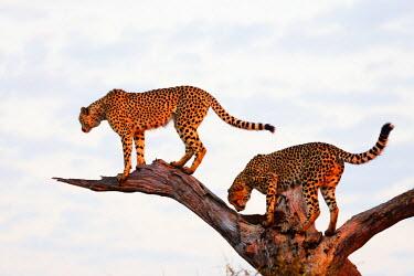 SAF6611 South Africa, Kruger National Park, cheetah - Acinonyx jubatus