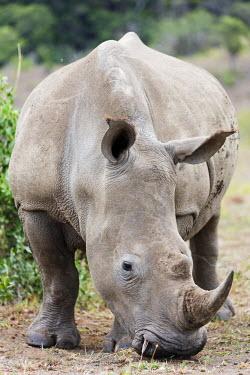 SAF6700 South Africa, Kwazulu-Natal, Hluhluwe-Imfolozi Park, white rhino, Ceratotherium simum
