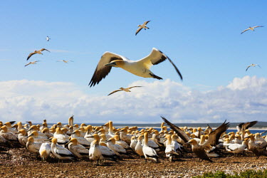 SAF6836 South Africa, Western Cape, Lambert's Bay gannet colony, Cape gannet - Morus capensis