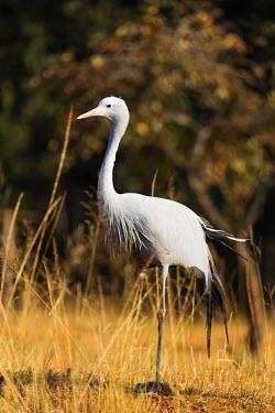 SWA0012 Swaziland, Mlilwane Wildlife Sanctuary, Blue Crane - Anthropoides paradiseus