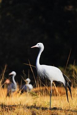 SWA0013 Swaziland, Mlilwane Wildlife Sanctuary, Blue Crane - Anthropoides paradiseus