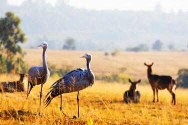 SWA0014 Swaziland, Mlilwane Wildlife Sanctuary, Blue Crane - Anthropoides paradiseus