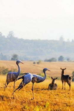 SWA0015 Swaziland, Mlilwane Wildlife Sanctuary, Blue Crane - Anthropoides paradiseus