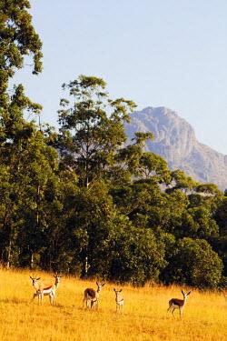 SWA0017 Swaziland, Mlilwane Wildlife Sanctuary, springbok - Antidorcas marsupialis