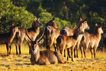 SWA0018 Swaziland, Mlilwane Wildlife Sanctuary, waterbuck antelope - Kobus ellipsiprymnus
