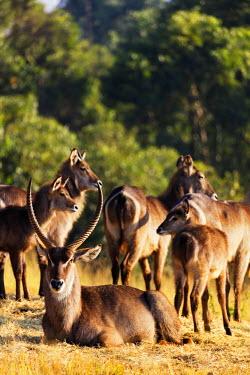 SWA0019 Swaziland, Mlilwane Wildlife Sanctuary, waterbuck antelope - Kobus ellipsiprymnus