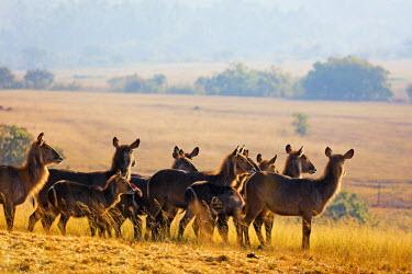 SWA0020 Swaziland, Mlilwane Wildlife Sanctuary, waterbuck antelope - Kobus ellipsiprymnus