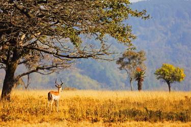 SWA0021 Swaziland, Mlilwane Wildlife Sanctuary, male impala - Aepyceros melampus