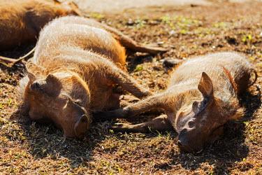 SWA0024 Swaziland, Mlilwane Wildlife Sanctuary, common warthog - Phacochoerus africanus