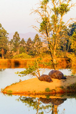 SWA0025 Swaziland, Mlilwane Wildlife Sanctuary, hippo - Hippopotamus amphibius