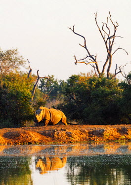 SWA0040 Swaziland, Hlane Royal National Park, white rhino, Ceratotherium simum
