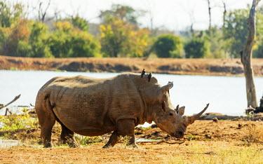 SWA0041 Swaziland, Hlane Royal National Park, white rhino, Ceratotherium simum with oxpecker birds riding on its back