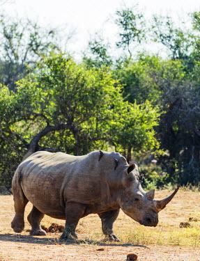 SWA0042 Swaziland, Hlane Royal National Park, white rhino, Ceratotherium simum