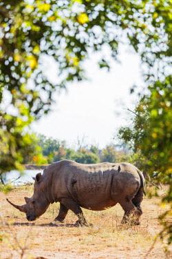 SWA0043 Swaziland, Hlane Royal National Park, white rhino, Ceratotherium simum