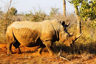 SWA0044 Swaziland, Hlane Royal National Park, white rhino, Ceratotherium simum