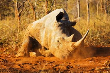 SWA0045 Swaziland, Hlane Royal National Park, white rhino, Ceratotherium simum lying in the dust