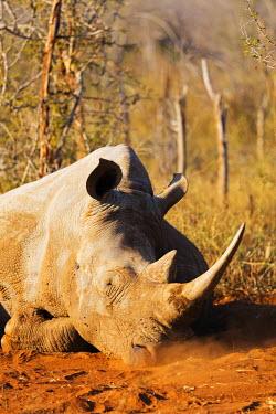 SWA0046 Swaziland, Hlane Royal National Park, white rhino, Ceratotherium simum lying in the dust