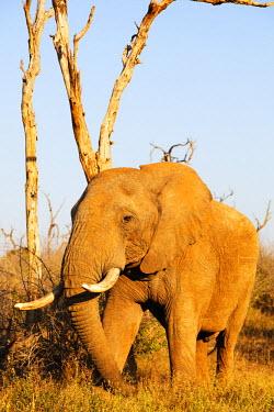 SWA0047 Swaziland, Hlane Royal National Park, African elephant, Loxodonta Africana