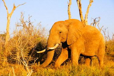 SWA0048 Swaziland, Hlane Royal National Park, African elephant, Loxodonta Africana