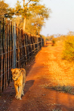SWA0049 Swaziland, Hlane Royal National Park, lioness - Panthera leo walking along the park boundary fence