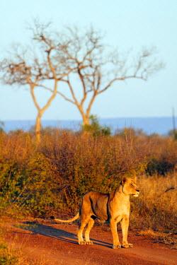 SWA0050 Swaziland, Hlane Royal National Park, lioness - Panthera leo