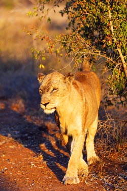 SWA0051 Swaziland, Hlane Royal National Park, lioness - Panthera leo