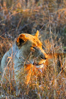 SWA0052 Swaziland, Hlane Royal National Park, lioness - Panthera leo