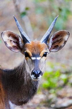 SWA0055 Swaziland, Mkhaya Game Reserve, male Nyala - Tragelaphus angasii