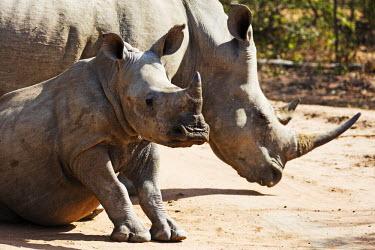 SWA0056 Swaziland, Mkhaya Game Reserve, mother and baby white rhino, Ceratotherium simum