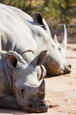 SWA0057 Swaziland, Mkhaya Game Reserve, mother and baby white rhino, Ceratotherium simum