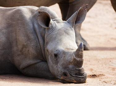 SWA0058 Swaziland, Mkhaya Game Reserve, mother and baby white rhino, Ceratotherium simum