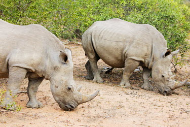 SWA0059 Swaziland, Mkhaya Game Reserve, white rhino, Ceratotherium simum