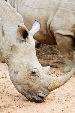 SWA0060 Swaziland, Mkhaya Game Reserve, white rhino, Ceratotherium simum
