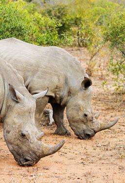 SWA0061 Swaziland, Mkhaya Game Reserve, white rhino, Ceratotherium simum