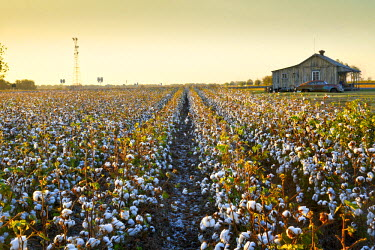 US36088 Clarksdale, Mississippi, Cotton Field, Delta